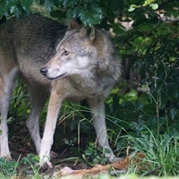 Chicago Tribune Editorial: Coexisting with coyotes