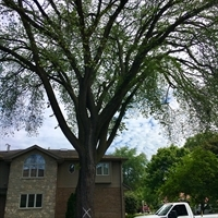 Elm Tree Removal Explained